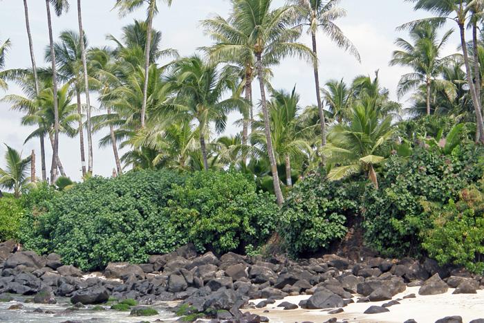 Hawajskie palmy kokosowe